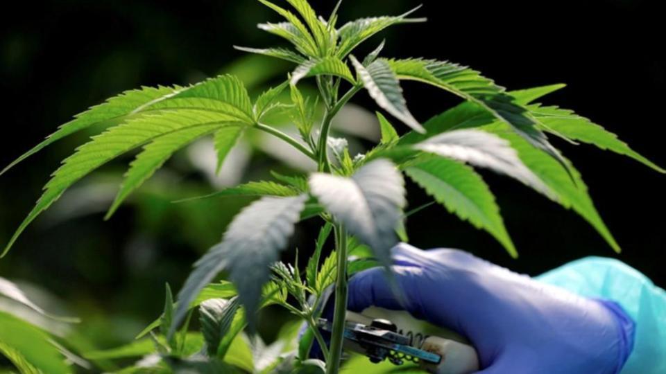 Regulación del cannabis hasta 2021