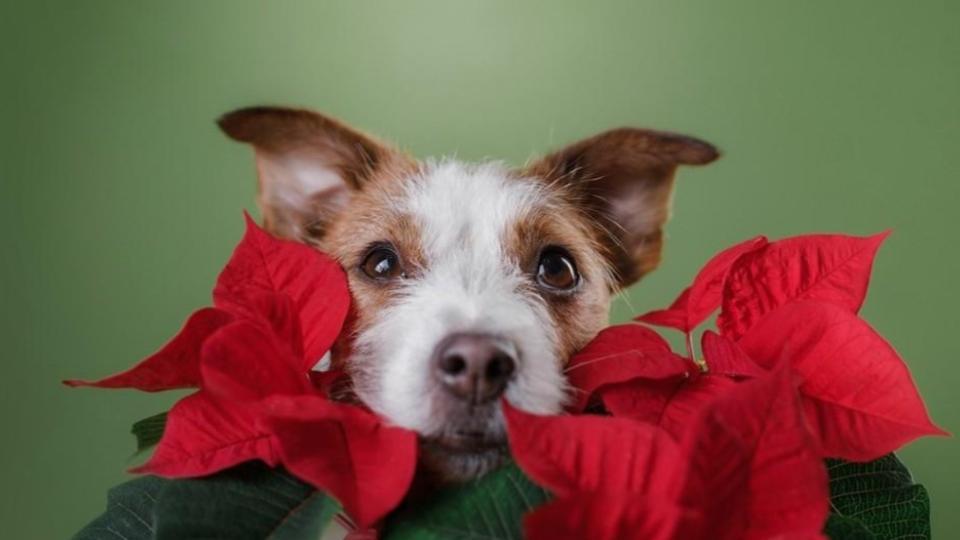 Nochebuenas, una planta peligrosa para los perritos