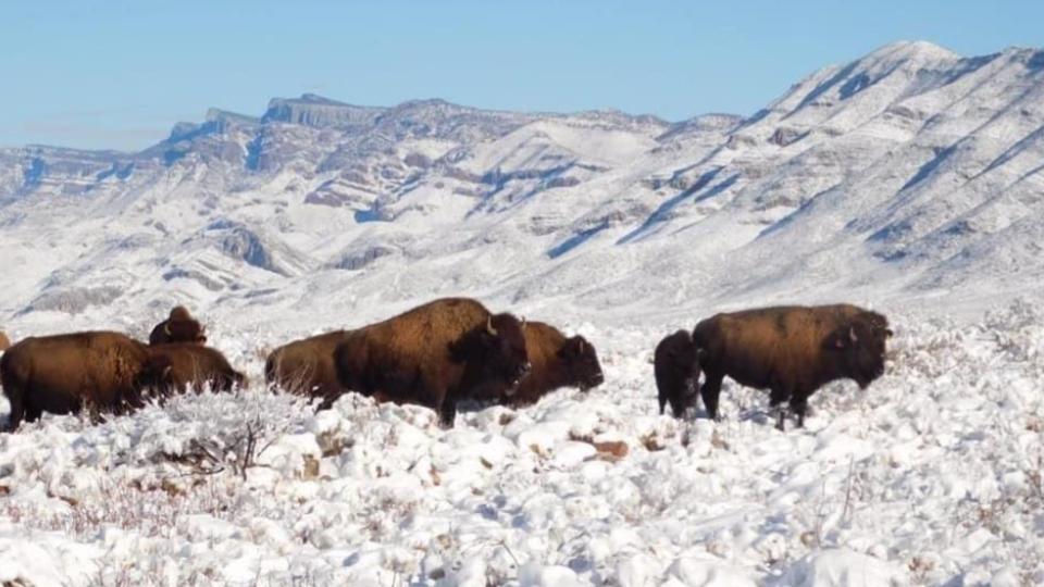 Regresan bisontes a Coahuila tras 100 años