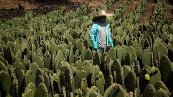 Productores de nopal en Milpa Alta