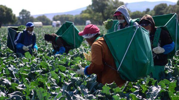 Vacunarán a trabajadores mexicanos en Canadá