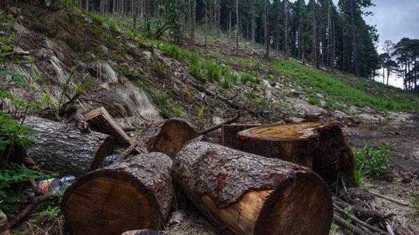 Por tala ilegal, más de 20 denuncias: Claudia Sheinbaum